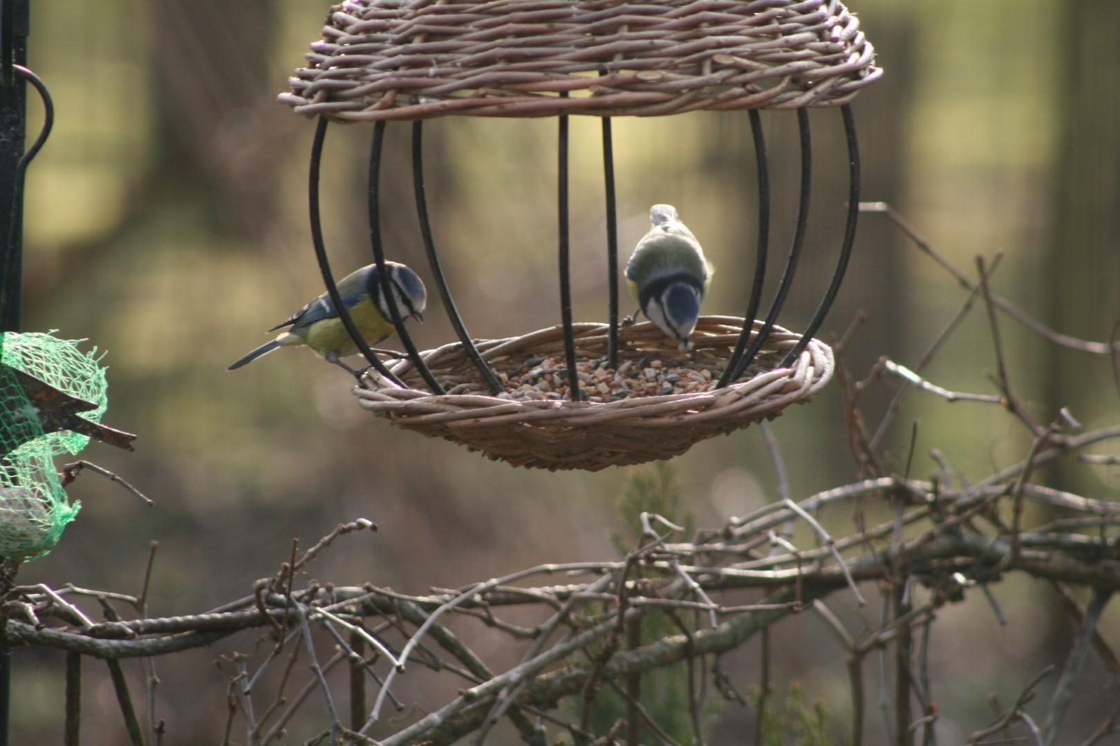 Blåmejser i pileflettet fuglehus