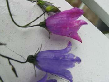 Myreforsøg med blomster