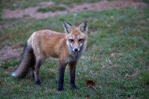 Billede af en ræv