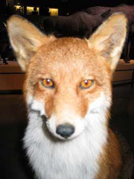 Billede af en ræv set forfra