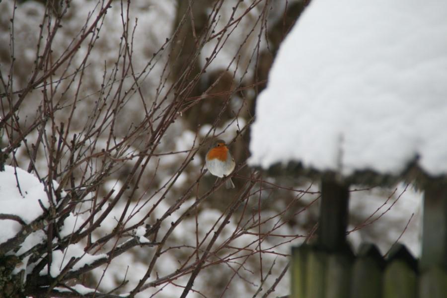 Rødhals sidder på en gren