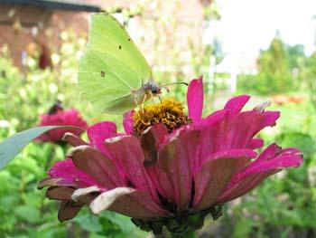 Citron sommerfugl på blomst