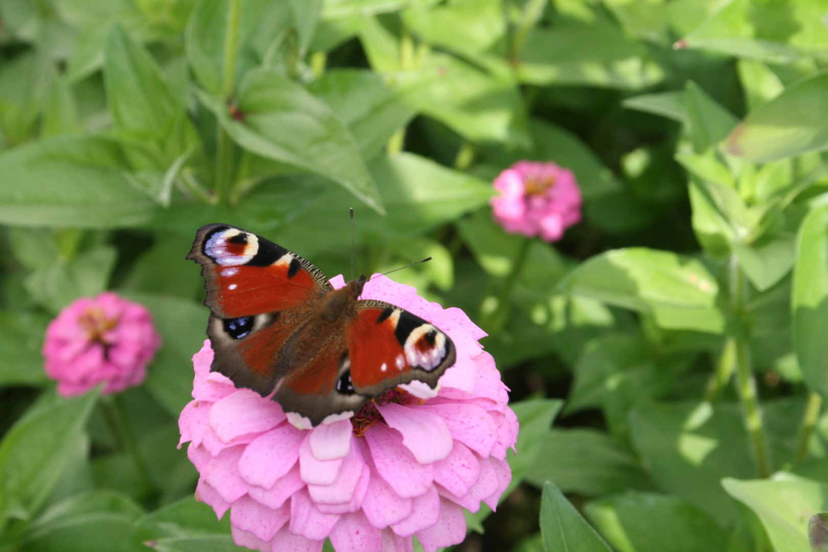 Åben sommerfugl på blomst