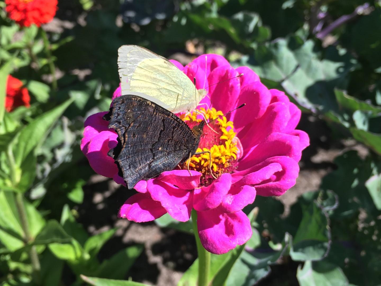 Lukket sommerfugl på blomst