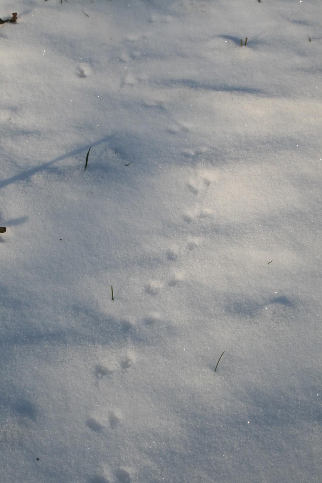 Spor i sneen efter mus