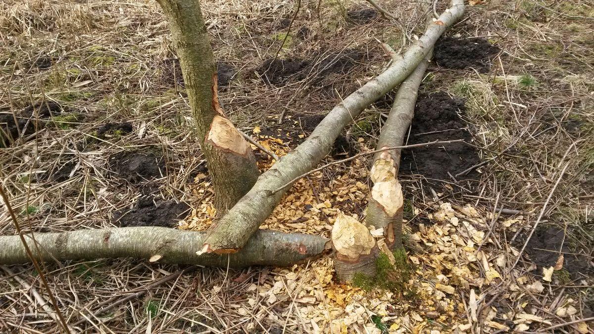 Træ fældet af bæver