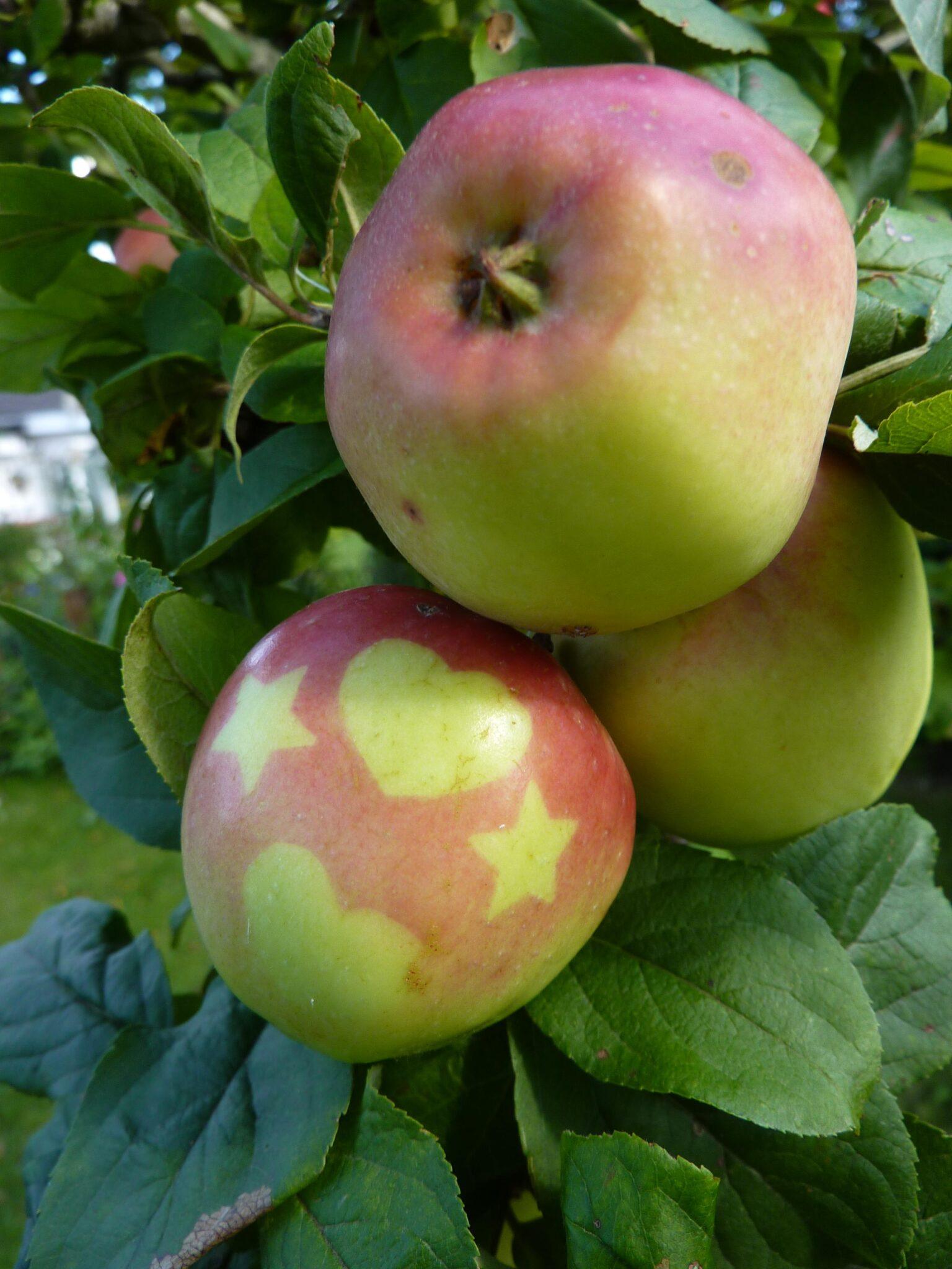 Æbler med hjerte og stjerner på