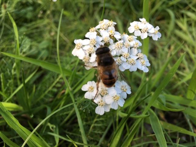 En enlig bi i blomst