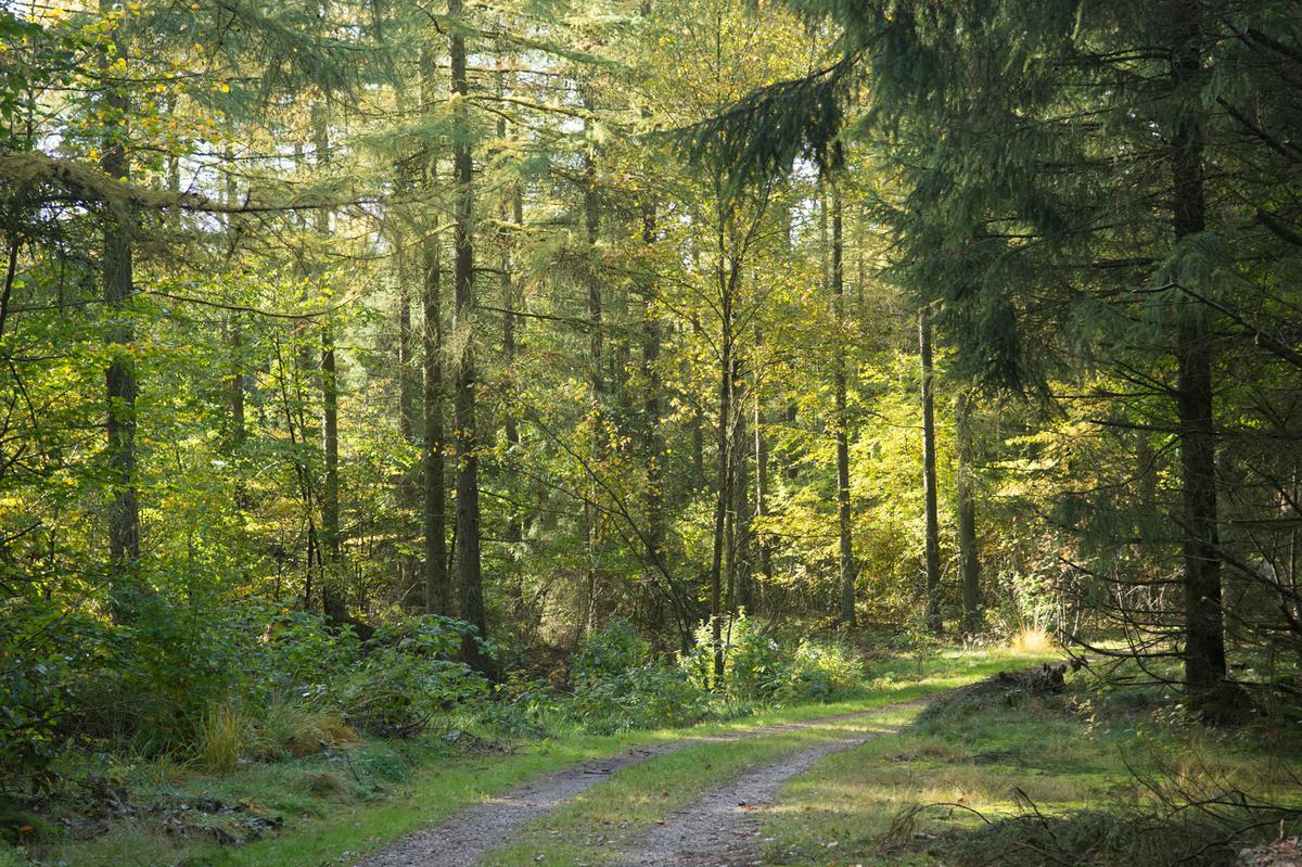 Skovsti i Søttrup Plantage