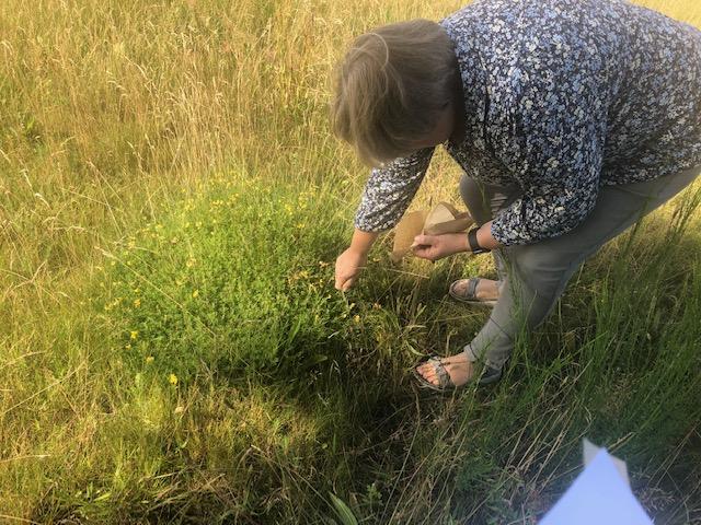 Anette indsamler frø fra vilde planter